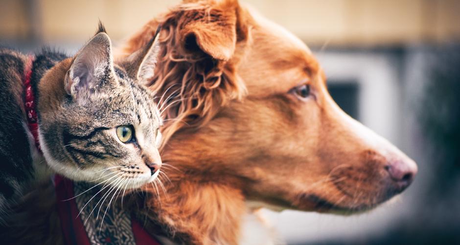Hund tollare och grå katt tittar åt höger närbild